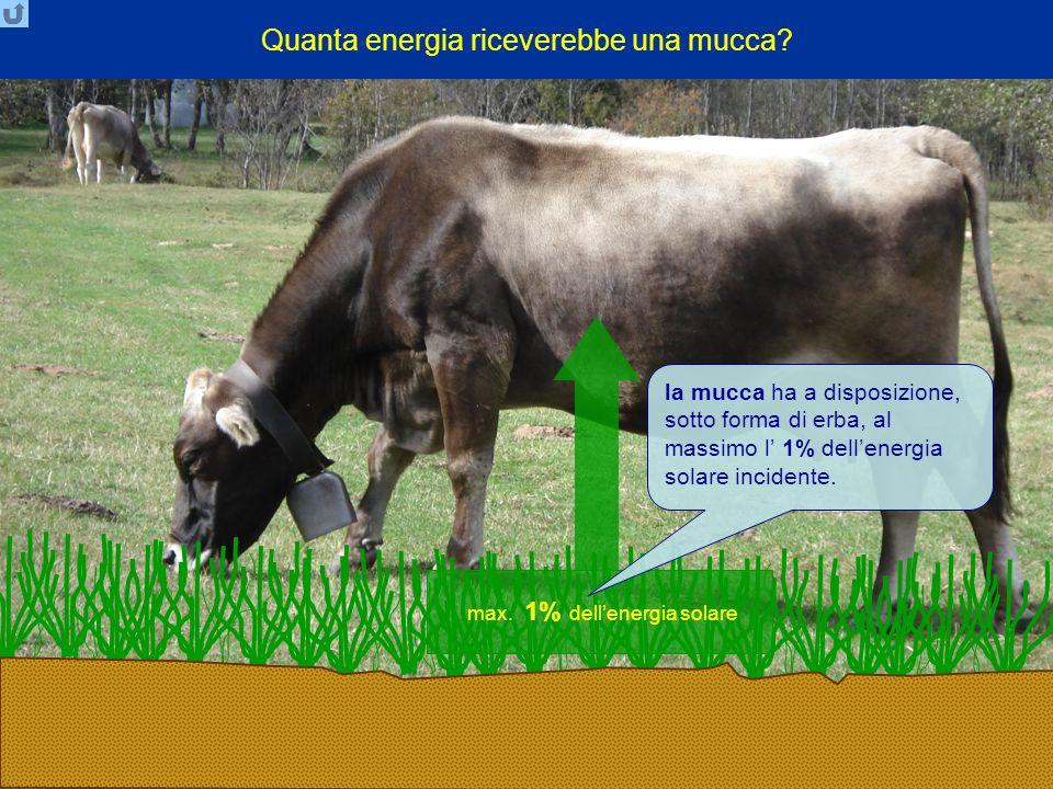 Quanta energia riceverebbe una mucca