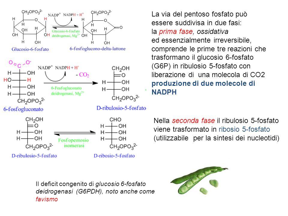 La via del pentoso fosfato può essere suddivisa in due fasi: