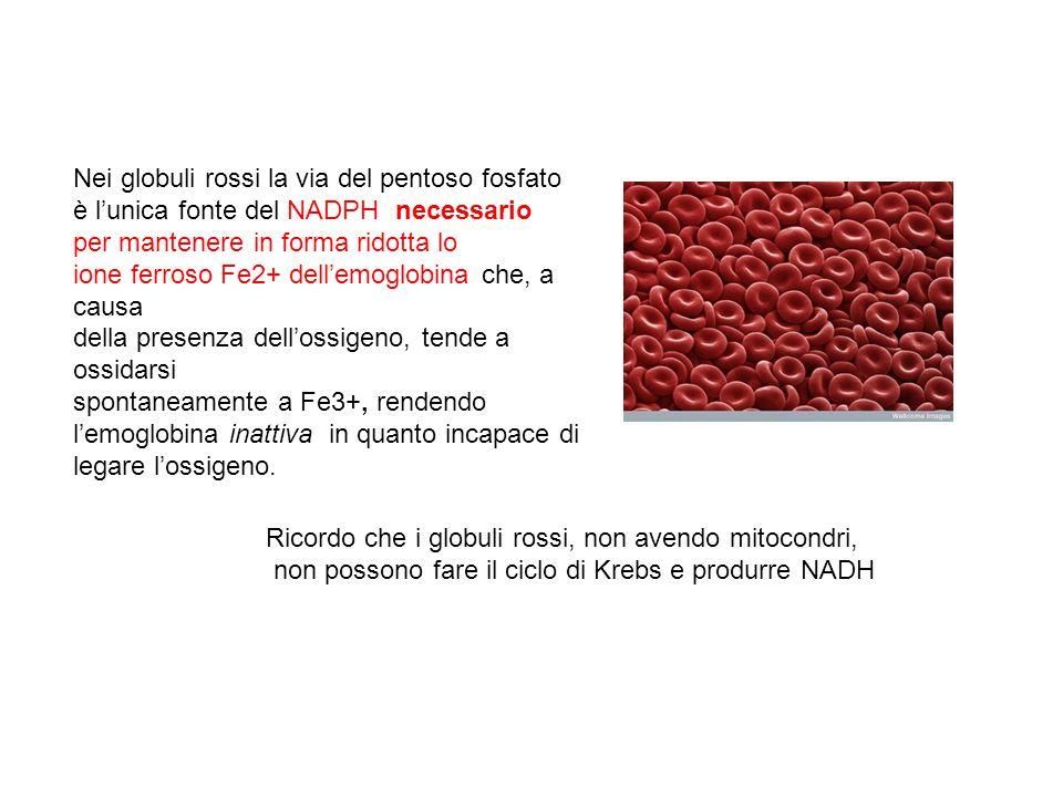 Nei globuli rossi la via del pentoso fosfato