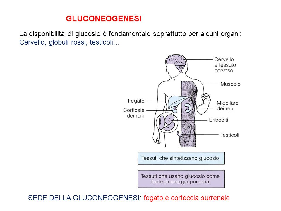 GLUCONEOGENESI La disponibilità di glucosio è fondamentale soprattutto per alcuni organi: Cervello, globuli rossi, testicoli…