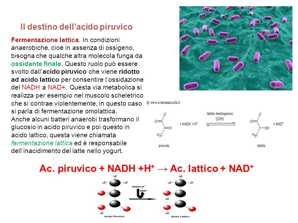 Ac. piruvico + NADH +H+ → Ac. lattico + NAD+