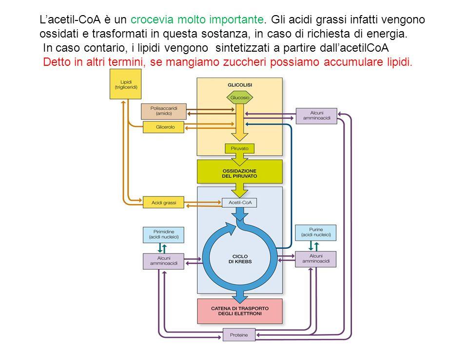 13/11/11 13/11/11. L'acetil-CoA è un crocevia molto importante. Gli acidi grassi infatti vengono.