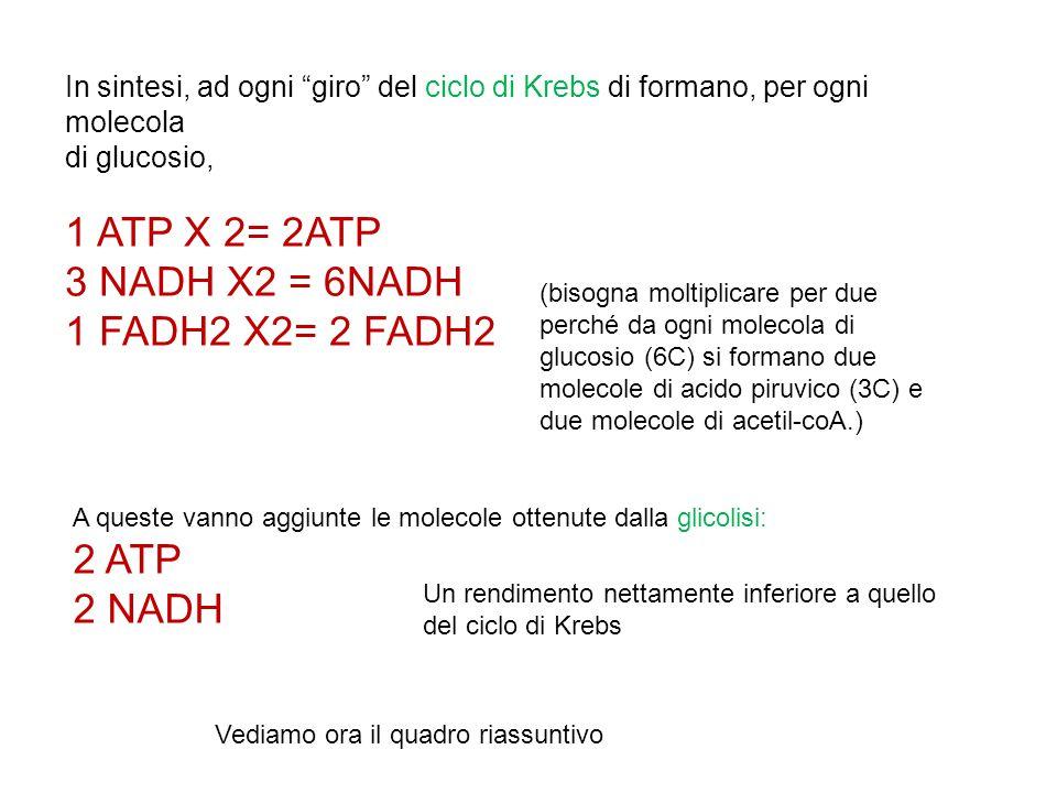 1 ATP X 2= 2ATP 3 NADH X2 = 6NADH 1 FADH2 X2= 2 FADH2 2 ATP 2 NADH