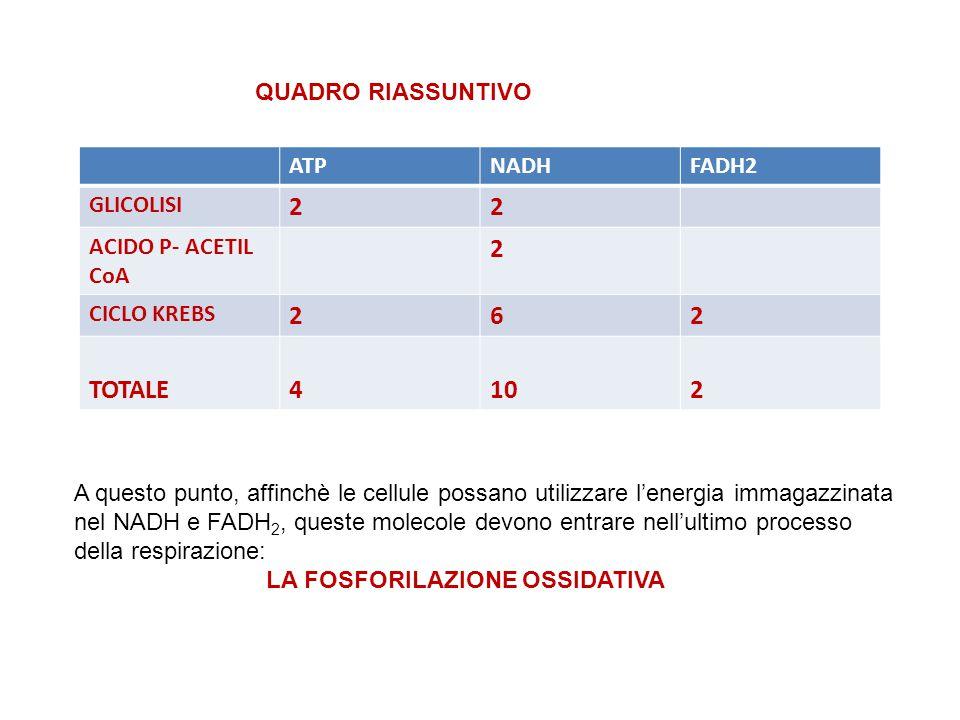2 6 TOTALE 4 10 QUADRO RIASSUNTIVO ATP NADH FADH2 GLICOLISI