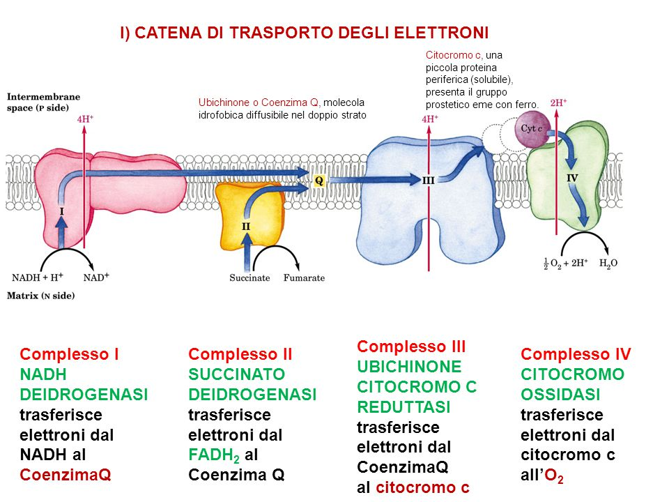 I) CATENA DI TRASPORTO DEGLI ELETTRONI
