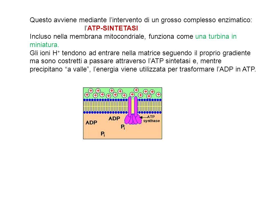 Questo avviene mediante l'intervento di un grosso complesso enzimatico: