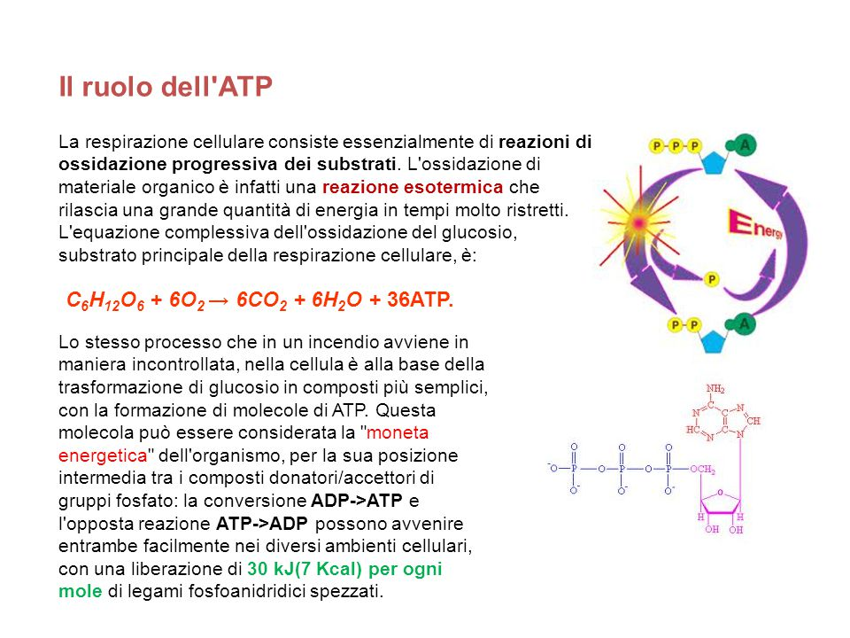 Il ruolo dell ATP C6H12O6 + 6O2 → 6CO2 + 6H2O + 36ATP.