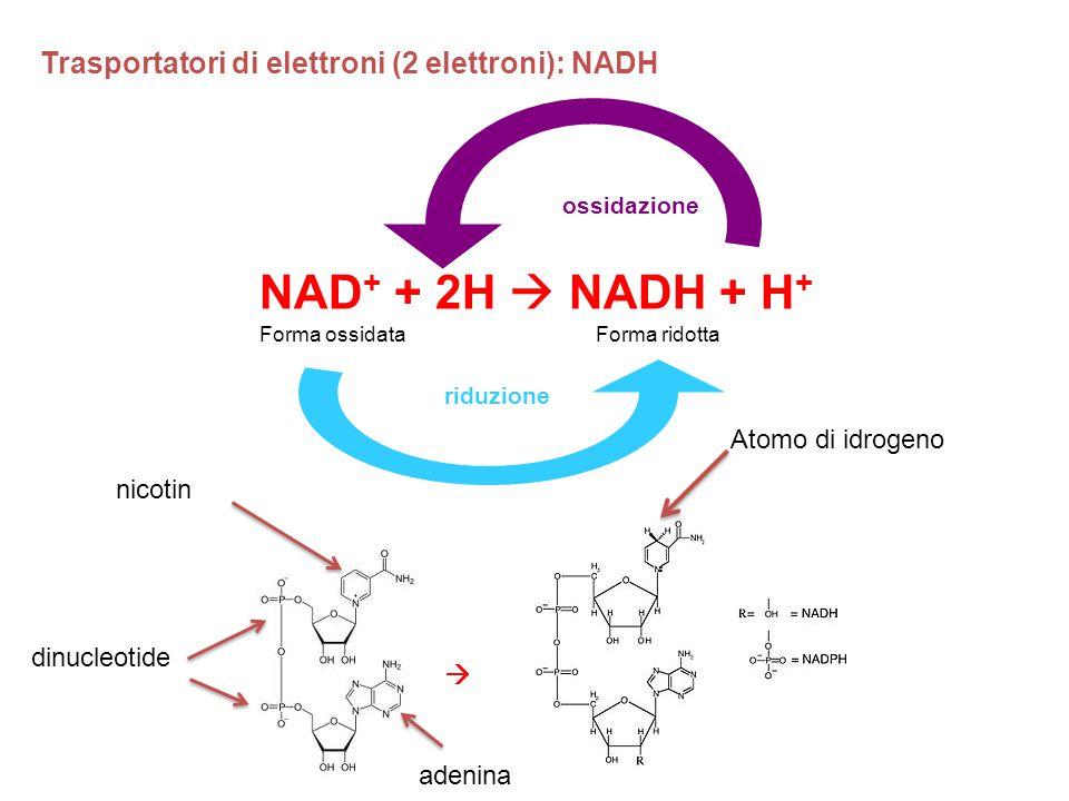 NAD+ + 2H  NADH + H+ Trasportatori di elettroni (2 elettroni): NADH