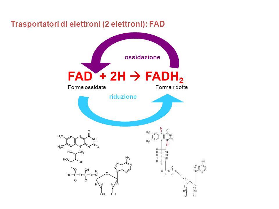 FAD + 2H  FADH2 Trasportatori di elettroni (2 elettroni): FAD