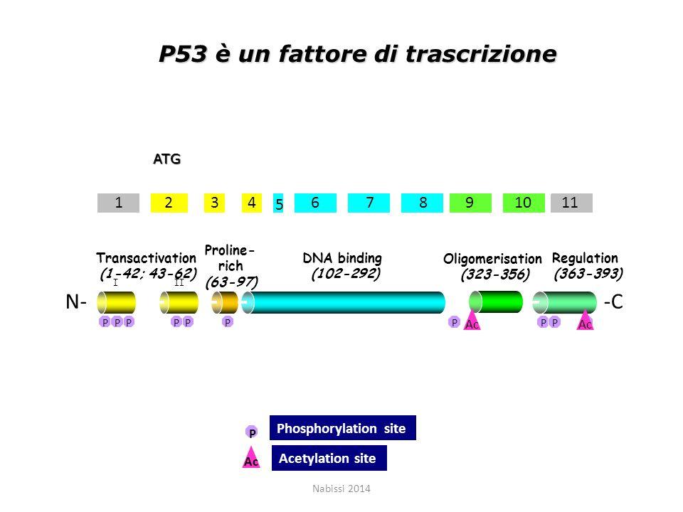 P53 è un fattore di trascrizione