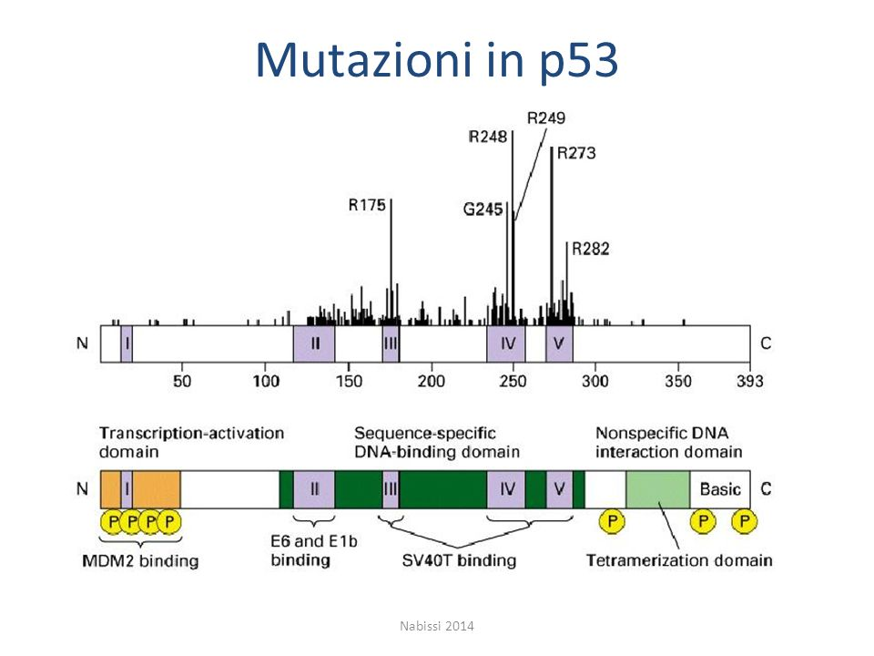 Mutazioni in p53 Nabissi 2014