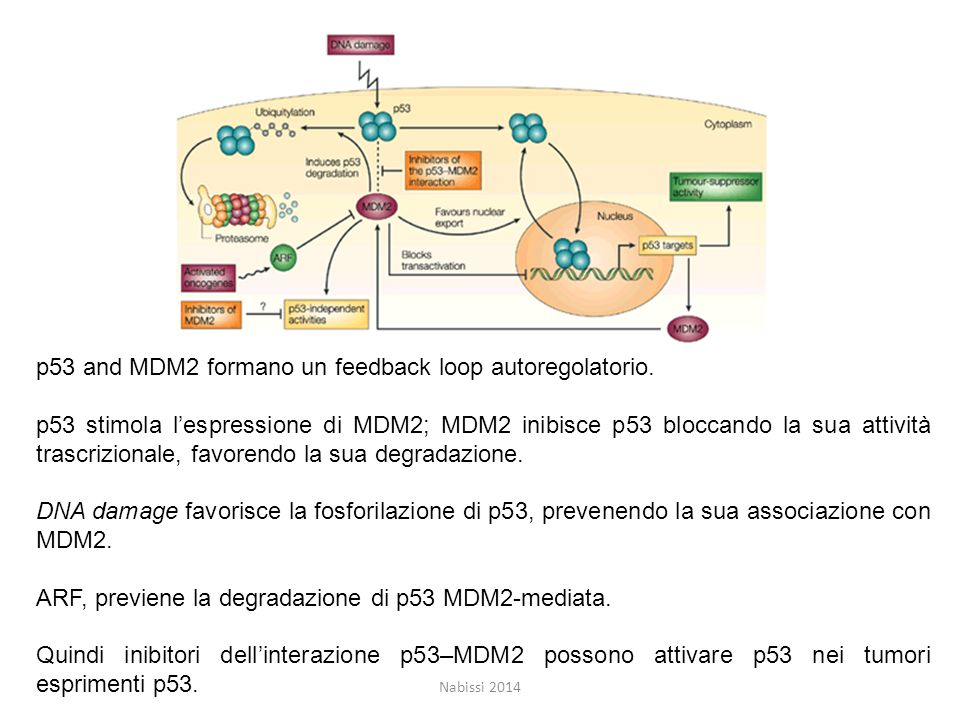 p53 and MDM2 formano un feedback loop autoregolatorio.