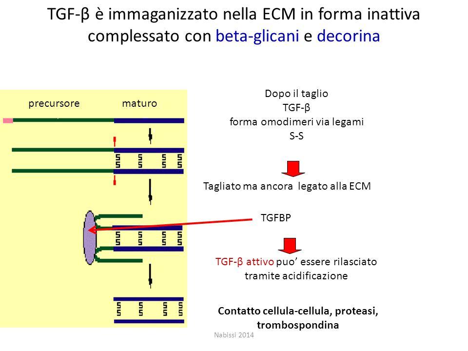Contatto cellula-cellula, proteasi, trombospondina