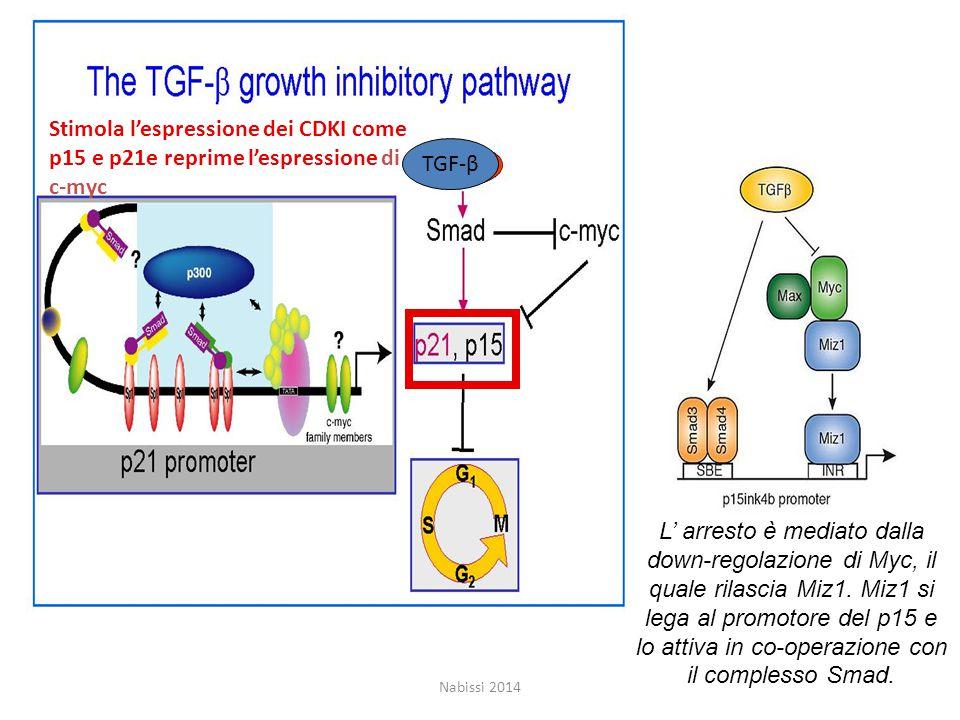 Stimola l'espressione dei CDKI come p15 e p21e reprime l'espressione di c-myc