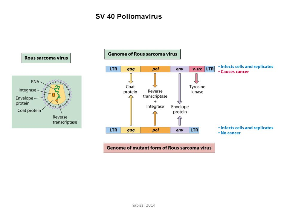 SV 40 Poliomavirus nabissi 2014