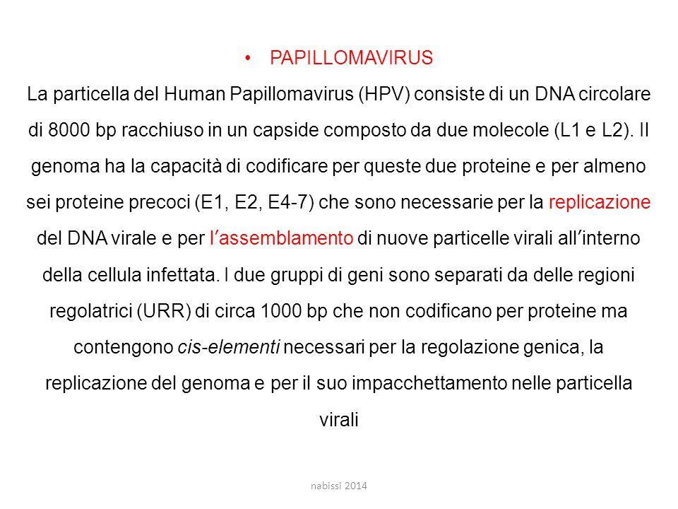 regolatrici (URR) di circa 1000 bp che non codificano per proteine ma