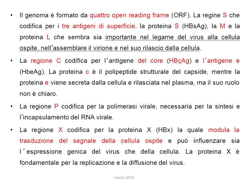 Il genoma è formato da quattro open reading frame (ORF)