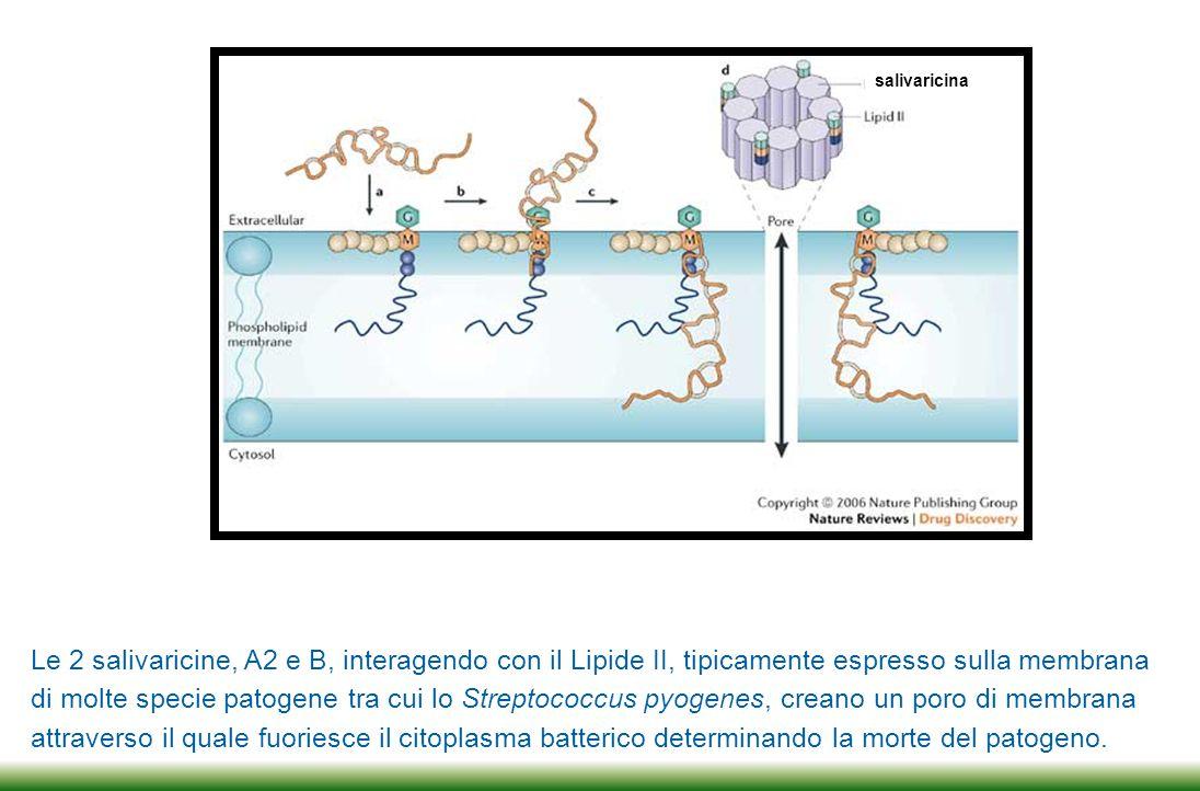 salivaricina Le 2 salivaricine, A2 e B, interagendo con il Lipide II, tipicamente espresso sulla membrana.