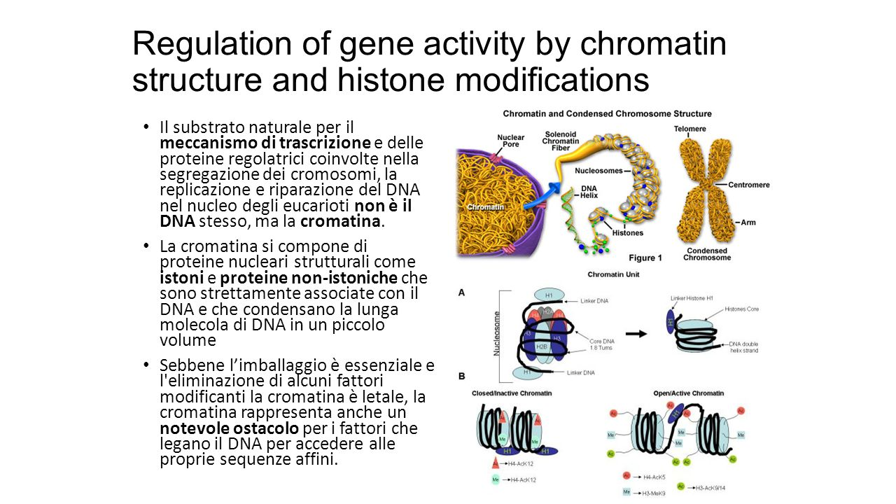 Regulation of gene activity by chromatin structure and histone modifications