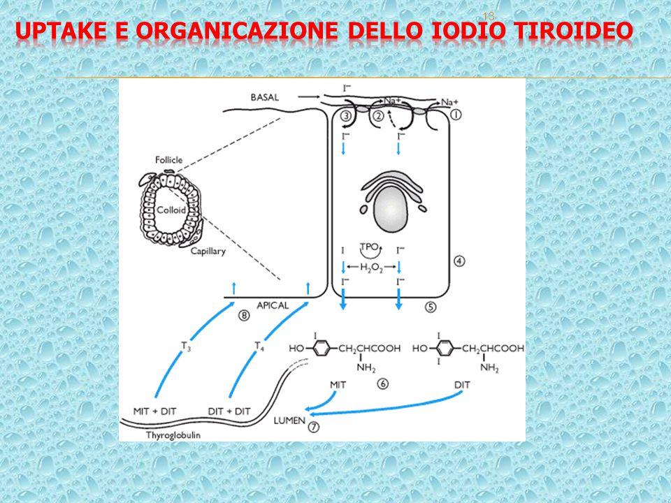 Uptake e organicazione dello iodio tiroideo