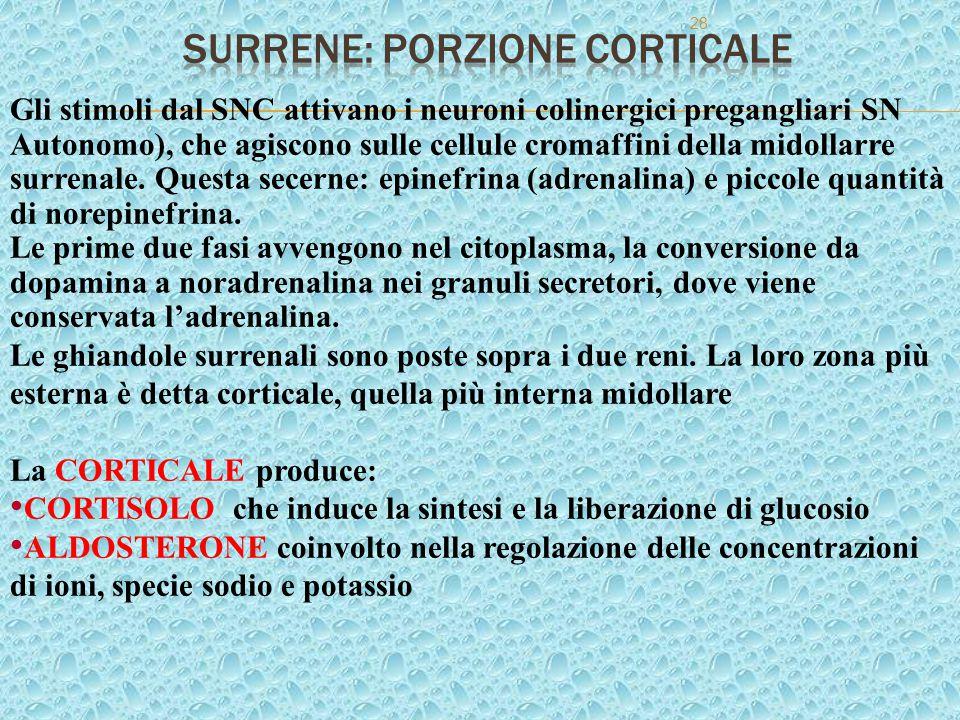Surrene: porzione corticale