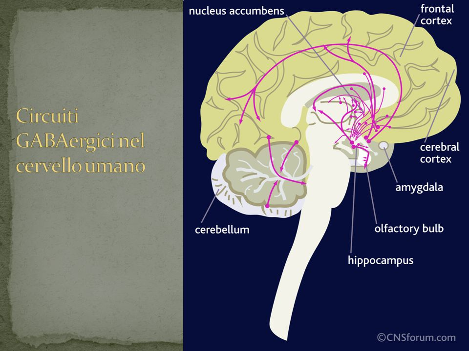 Circuiti GABAergici nel cervello umano