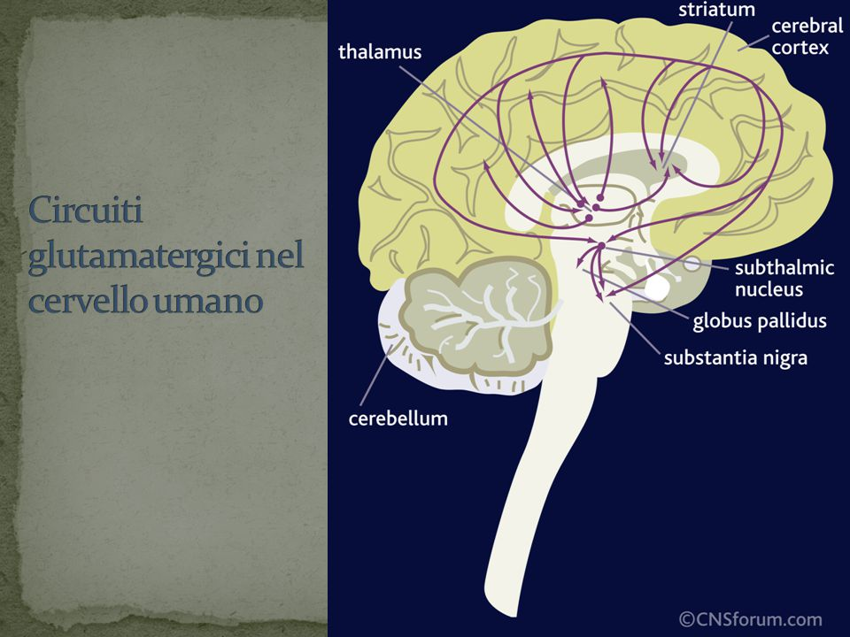 Circuiti glutamatergici nel cervello umano