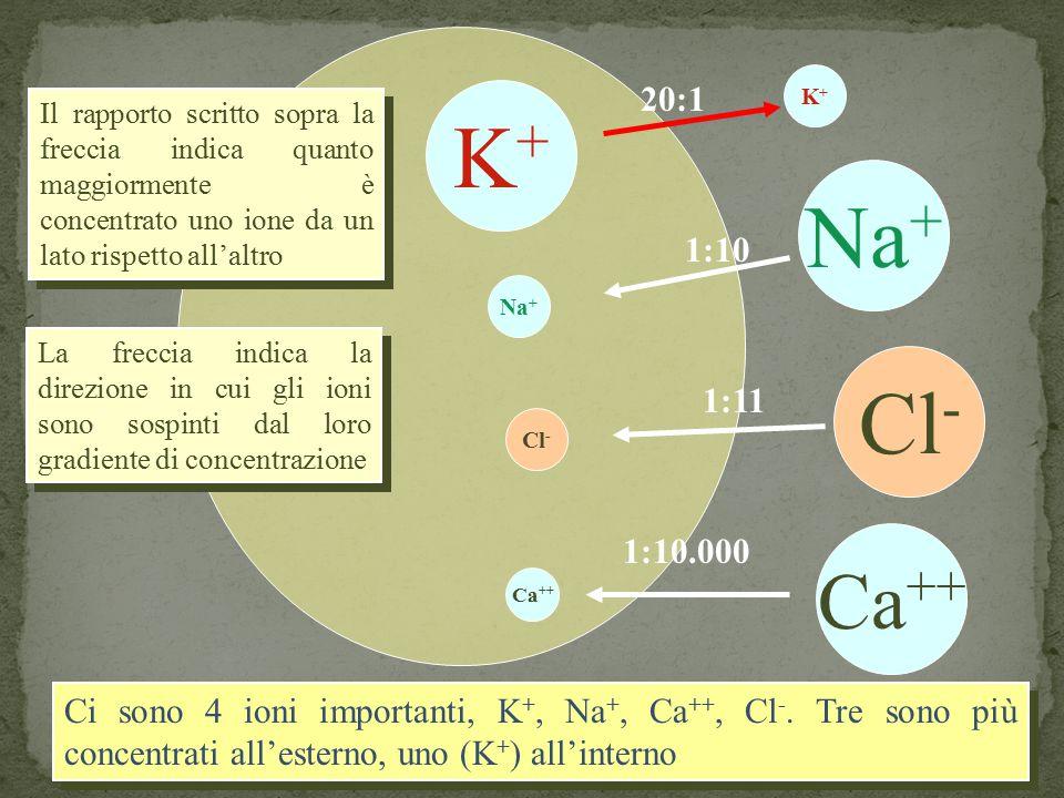 K+ 20:1. K+ Il rapporto scritto sopra la freccia indica quanto maggiormente è concentrato uno ione da un lato rispetto all'altro.