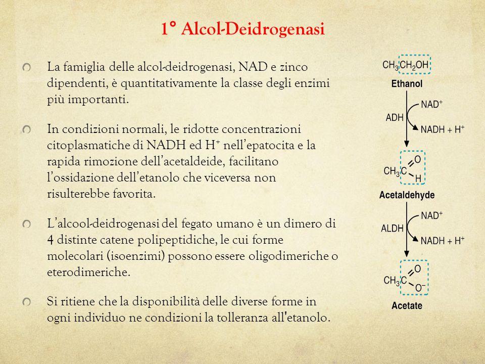 1° Alcol-Deidrogenasi La famiglia delle alcol-deidrogenasi, NAD e zinco dipendenti, è quantitativamente la classe degli enzimi più importanti.