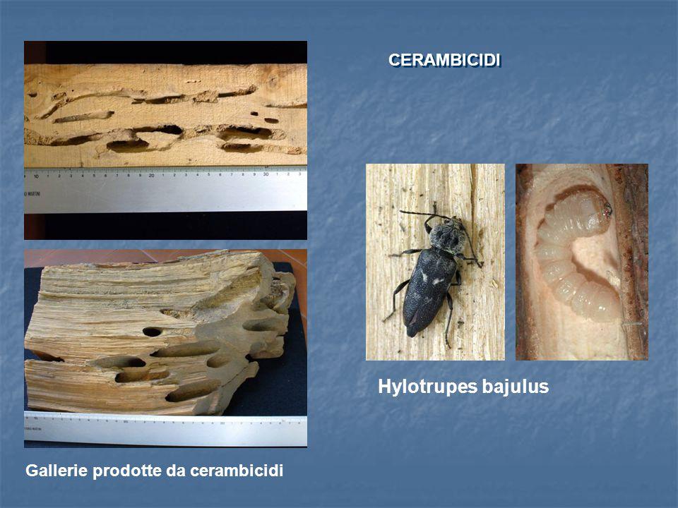 CERAMBICIDI Hylotrupes bajulus Gallerie prodotte da cerambicidi