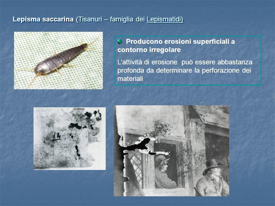 Lepisma saccarina (Tisanuri – famiglia dei Lepismatidi)