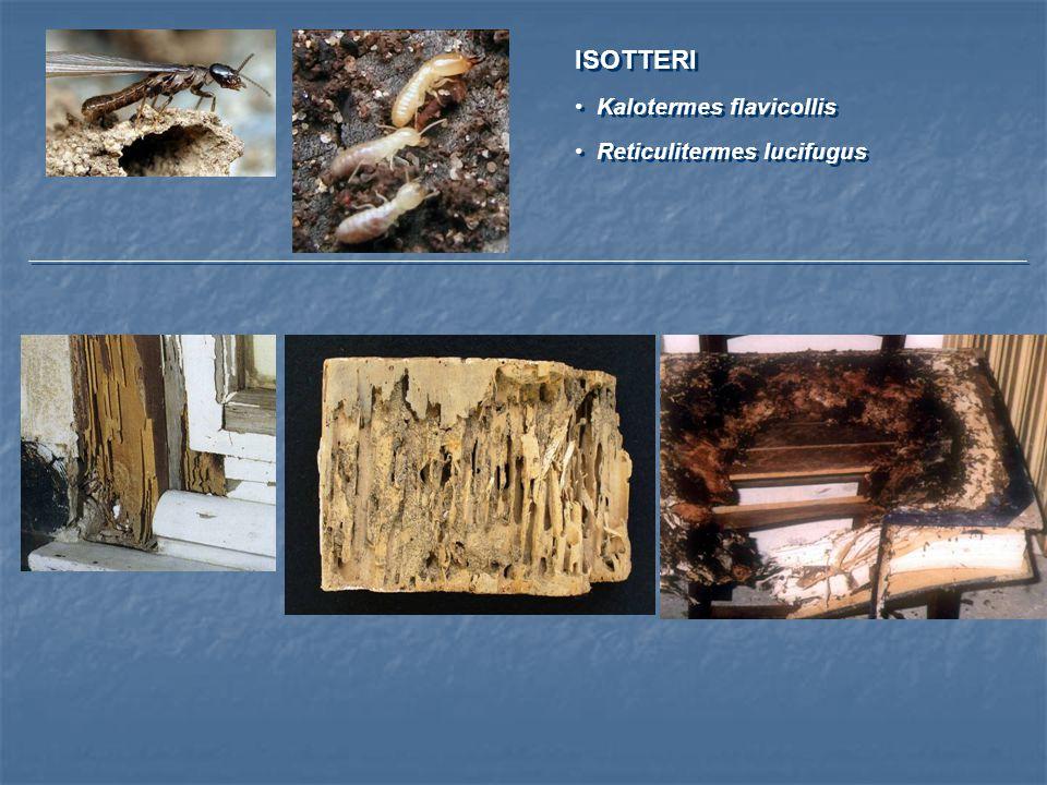 ISOTTERI Kalotermes flavicollis Reticulitermes lucifugus