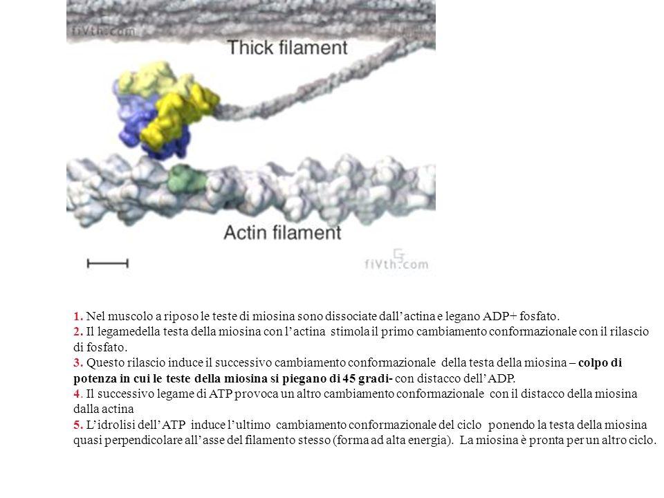 1. Nel muscolo a riposo le teste di miosina sono dissociate dall'actina e legano ADP+ fosfato.