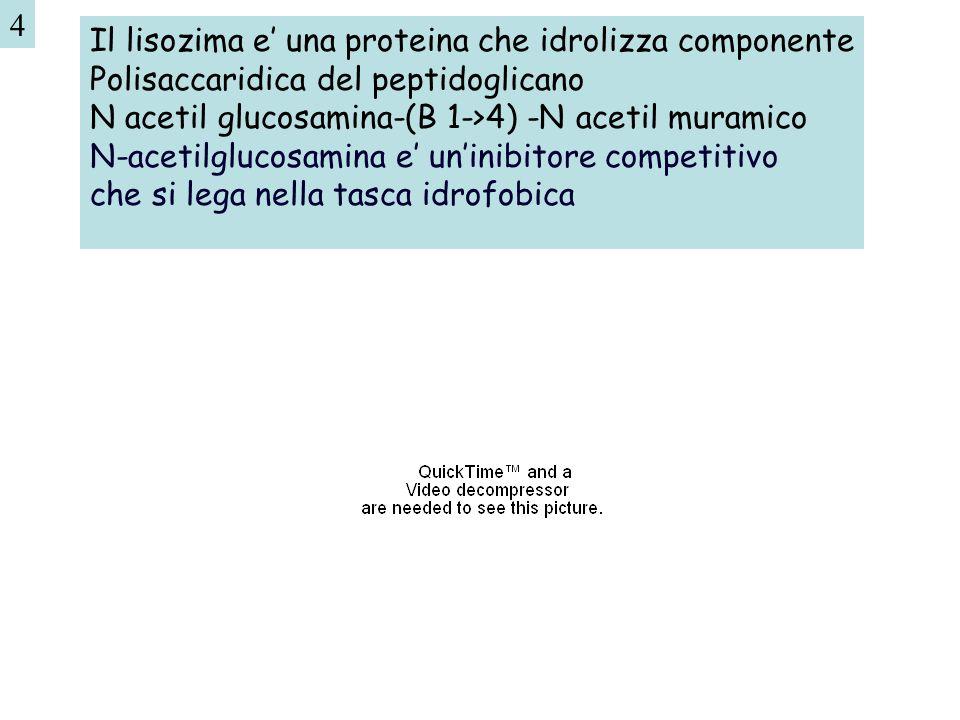 4 Il lisozima e' una proteina che idrolizza componente. Polisaccaridica del peptidoglicano. N acetil glucosamina-(B 1->4) -N acetil muramico.
