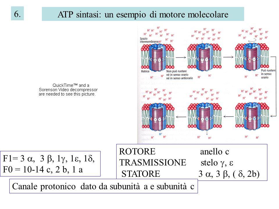 ATP sintasi: un esempio di motore molecolare