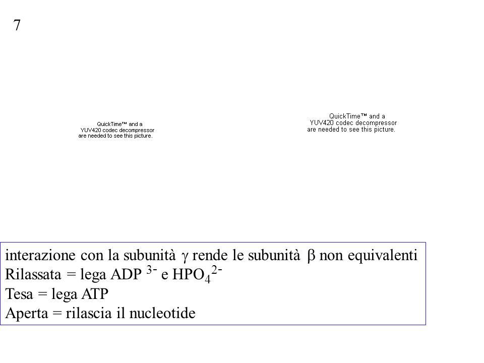 7 interazione con la subunità g rende le subunità b non equivalenti. Rilassata = lega ADP 3- e HPO42-
