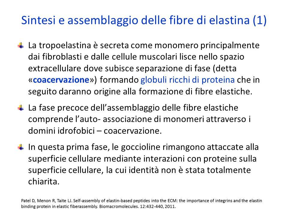 Sintesi e assemblaggio delle fibre di elastina (1)