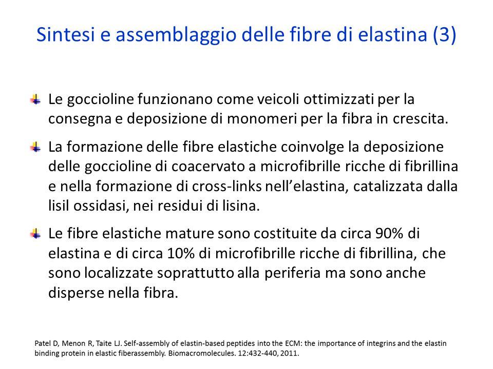 Sintesi e assemblaggio delle fibre di elastina (3)