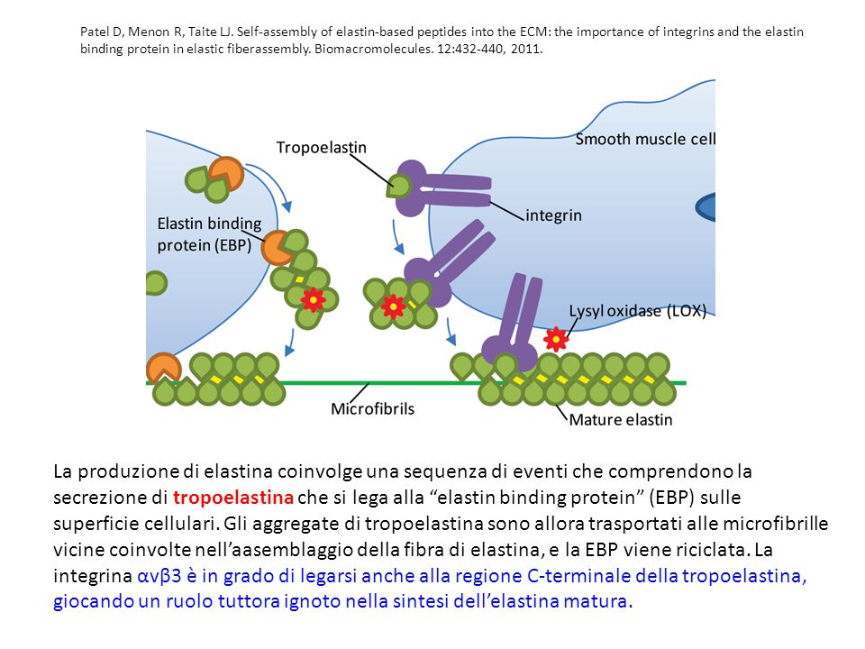 Patel D, Menon R, Taite LJ. Self-assembly of elastin-based peptides into the ECM: the importance of integrins and the elastin binding protein in elastic fiberassembly. Biomacromolecules. 12:432-440, 2011.