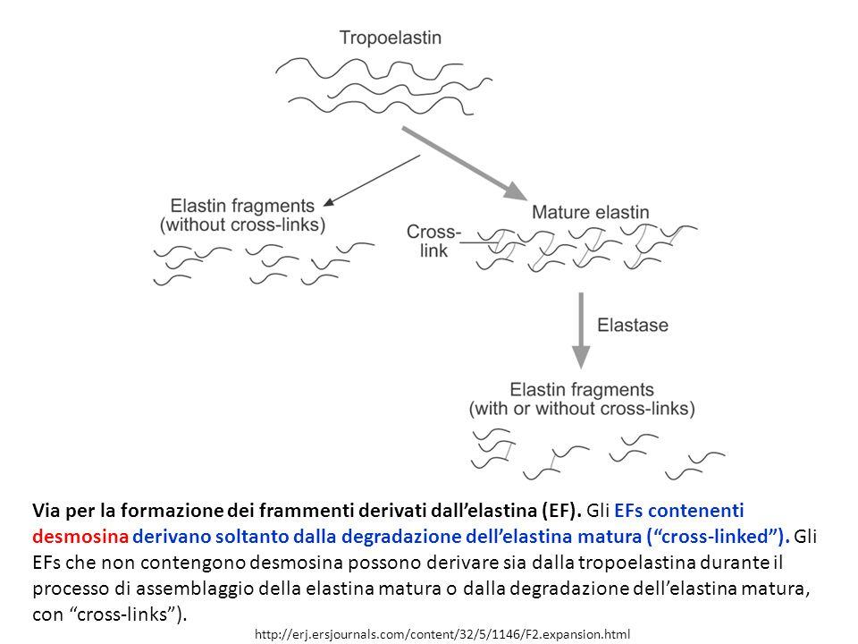 Via per la formazione dei frammenti derivati dall'elastina (EF)