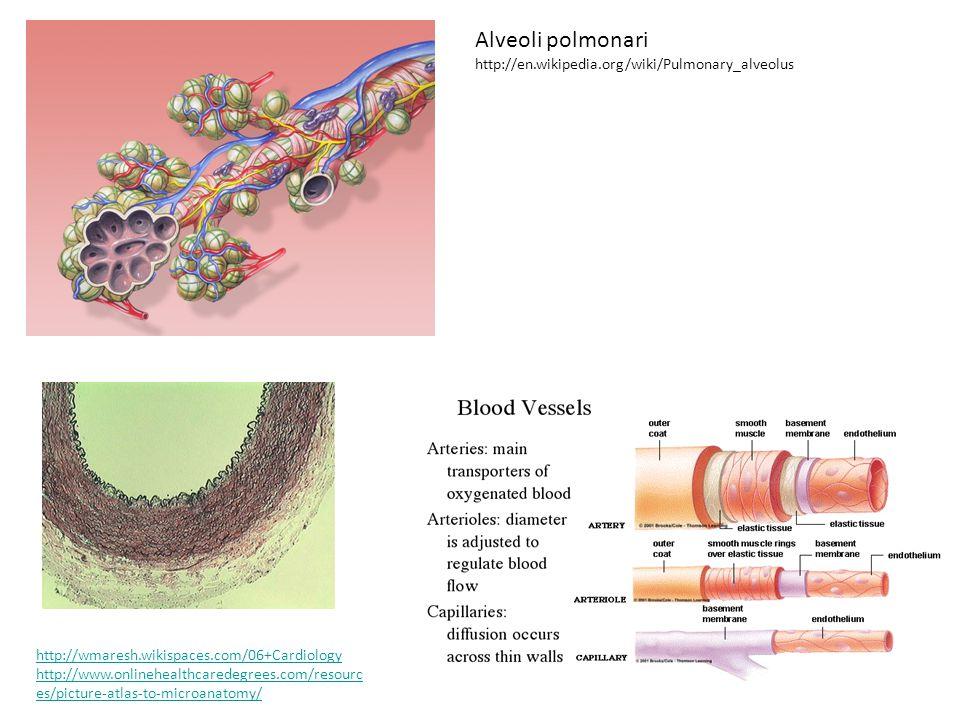 Alveoli polmonari http://en.wikipedia.org/wiki/Pulmonary_alveolus