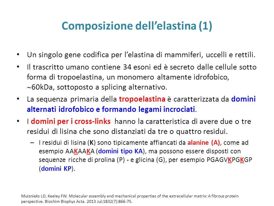 Composizione dell'elastina (1)