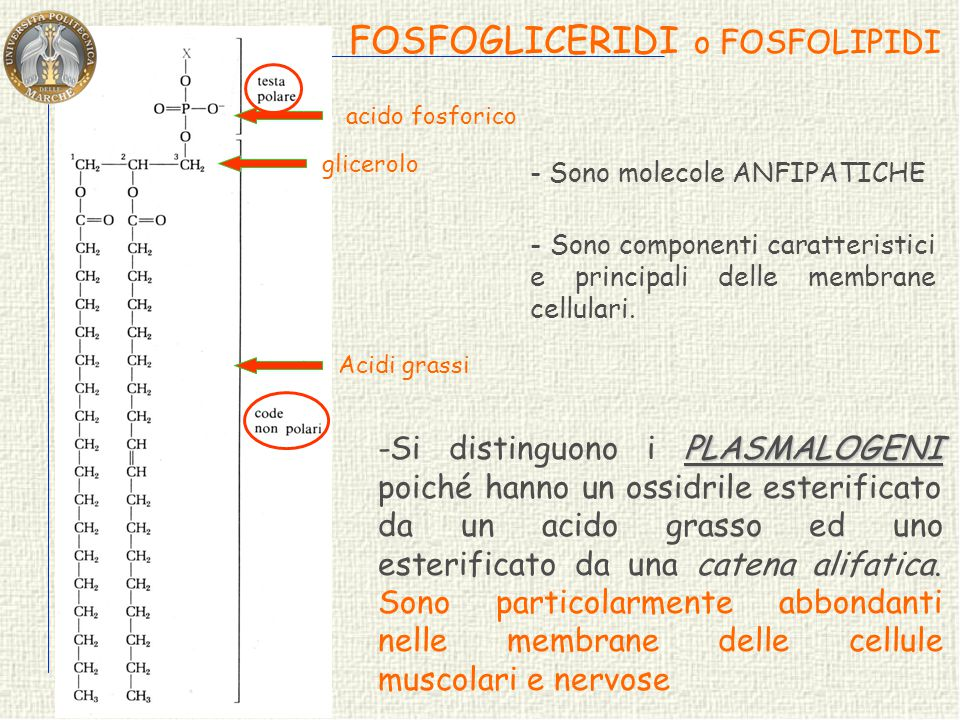 FOSFOGLICERIDI o FOSFOLIPIDI