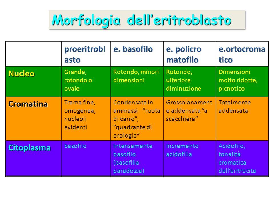Morfologia dell'eritroblasto