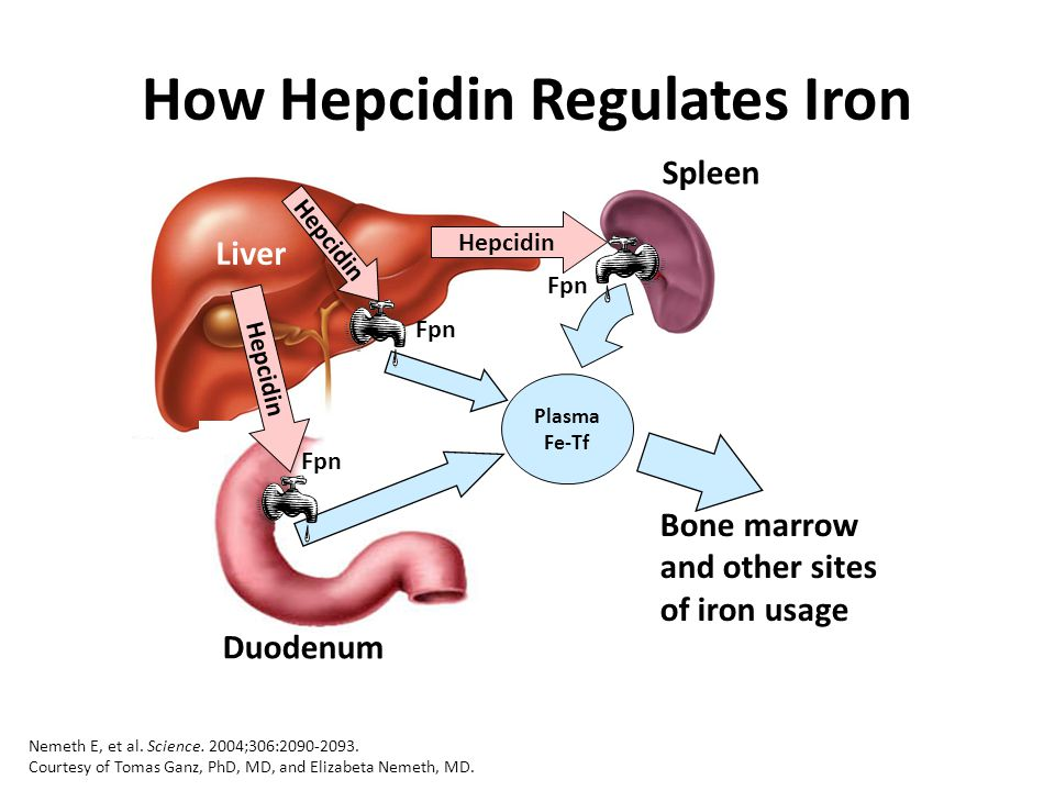 How Hepcidin Regulates Iron