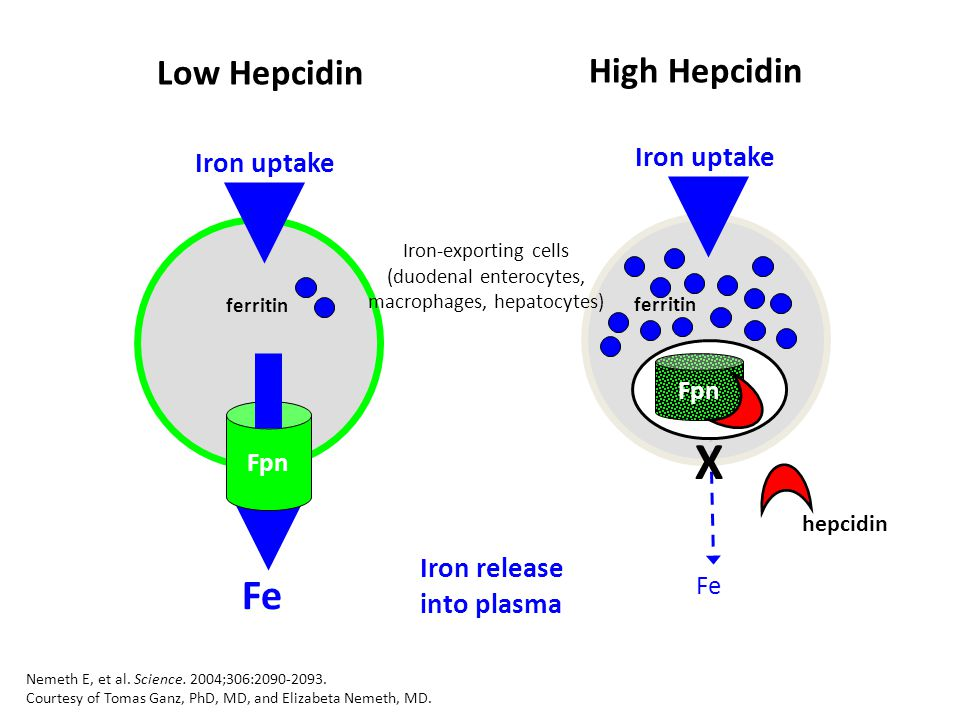 Iron-exporting cells (duodenal enterocytes, macrophages, hepatocytes)