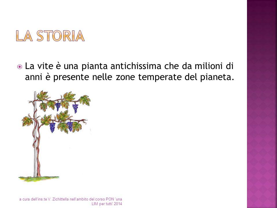 La storia La vite è una pianta antichissima che da milioni di anni è presente nelle zone temperate del pianeta.