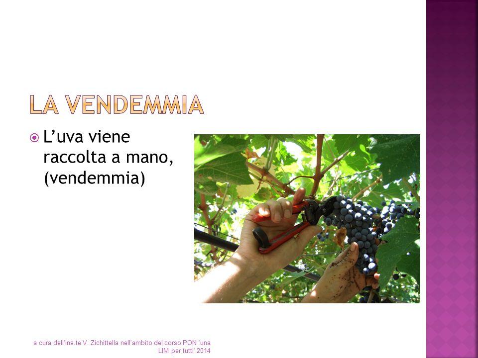 La vendemmia L'uva viene raccolta a mano, (vendemmia)