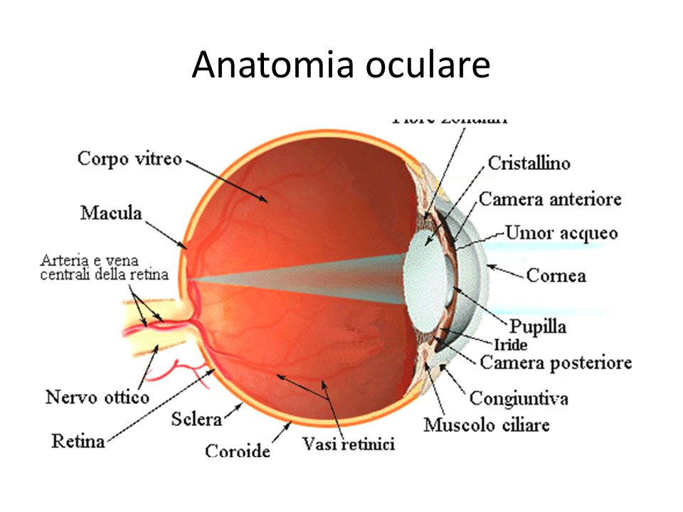 Anatomia oculare