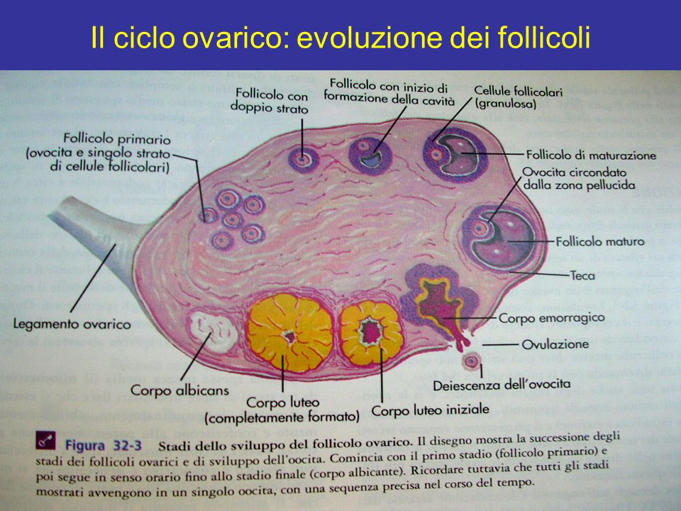 Il ciclo ovarico: evoluzione dei follicoli